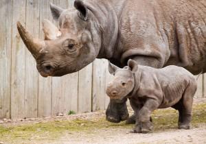 Black Rhinos at Paignton Zoo